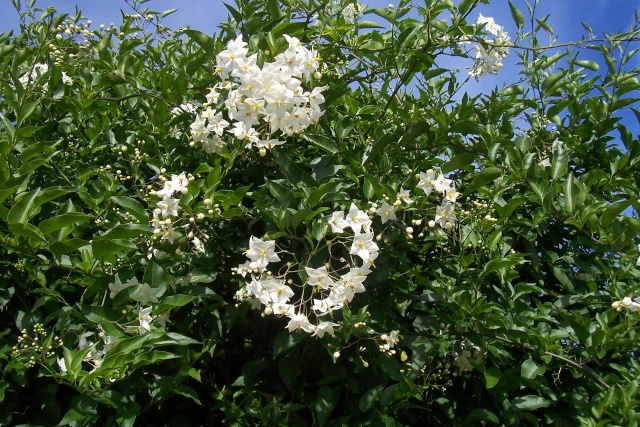 Solanum jasminoides - faux-jasmin - Page 2 100_6511