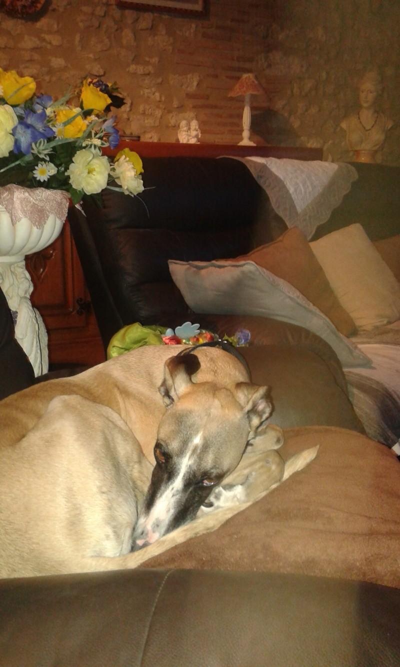 Perla , (squelettique) magnifique galga Scooby France   ADOPTEE  - Page 9 20150413