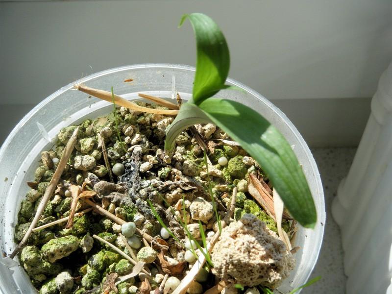 ponerorchis graminifolia Ponero14