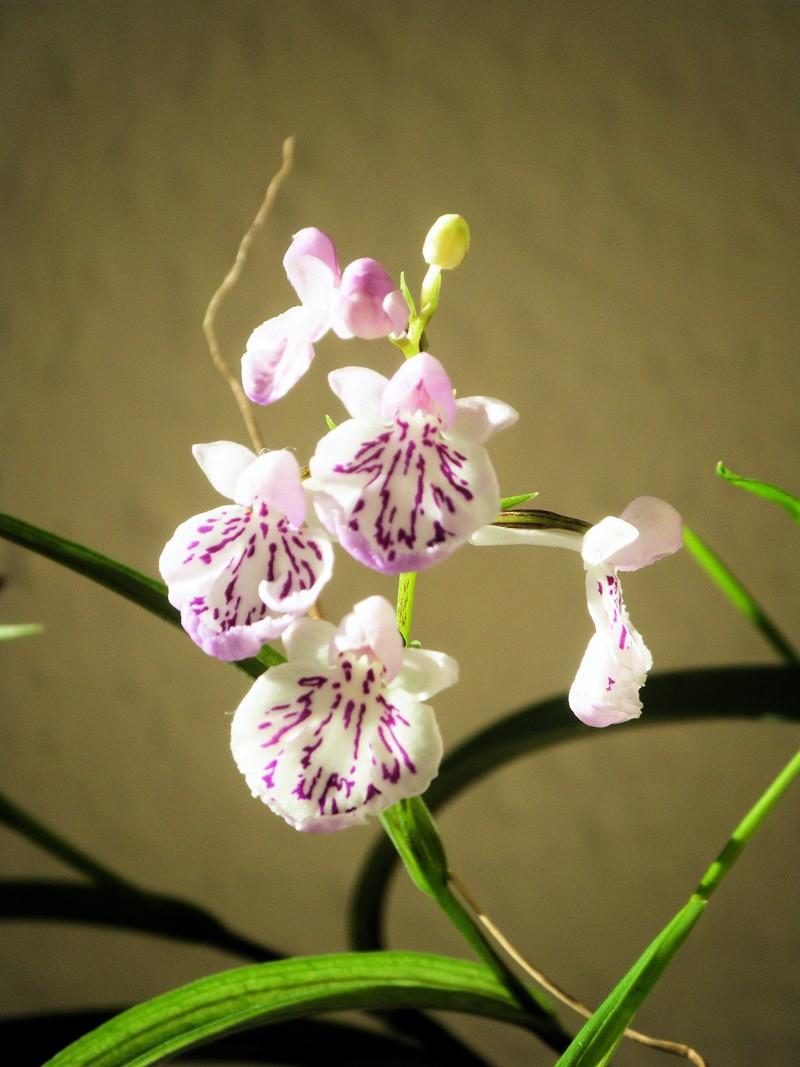 ponerorchis graminifolia Ponero18