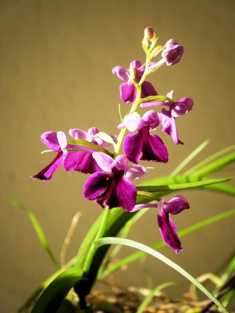 ponerorchis graminifolia Ponero19