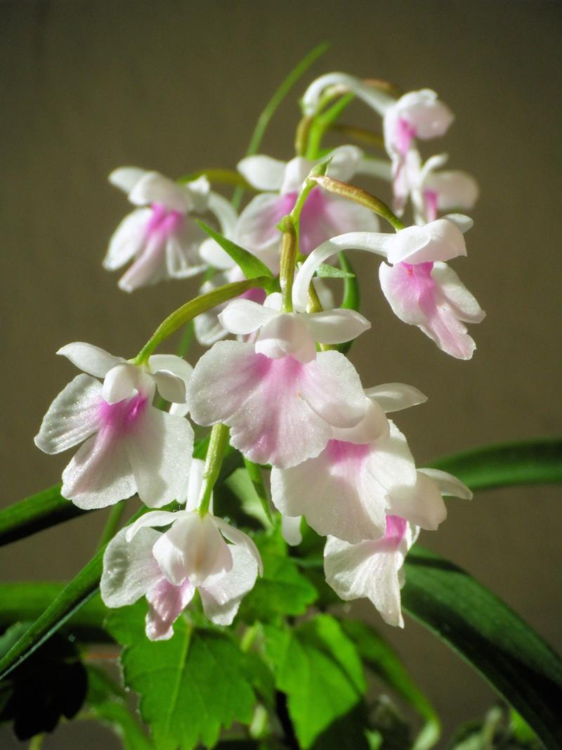 ponerorchis graminifolia Ponero20