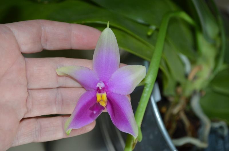 Phalaenopsis bellina x violacea (Samera) 18081511
