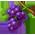 L'Habitat à Paresseux => Noix du Brésil Grapes12