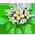 Frangipanier => Fleur de Frangipanier Plumer14