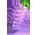 Arbre à Glycine Purple17