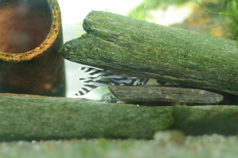 Bac spécifique pour la reproduction d'Hypancistrus zebra - Page 5 Alevin12