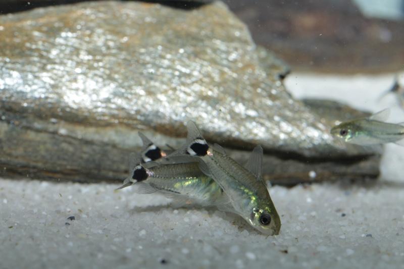 Corydoras hastatus/Hyphessobrycon elachys - Page 5 Corydo10