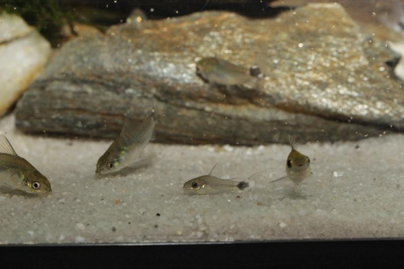 Corydoras hastatus/Hyphessobrycon elachys - Page 5 Corydo25