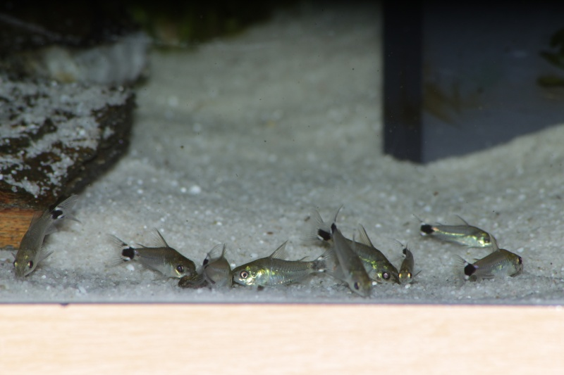 Corydoras hastatus/Hyphessobrycon elachys - Page 5 Corydo30