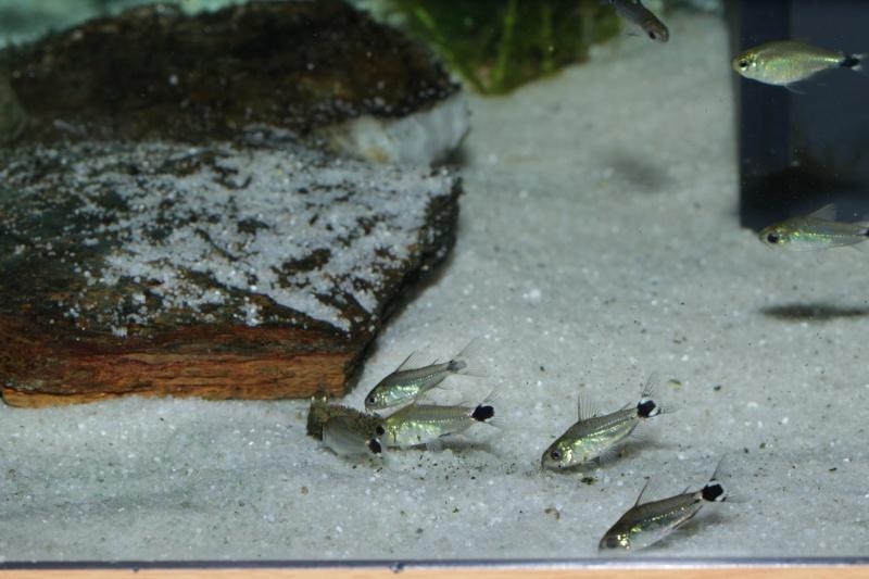 Corydoras hastatus/Hyphessobrycon elachys - Page 5 Corydo33