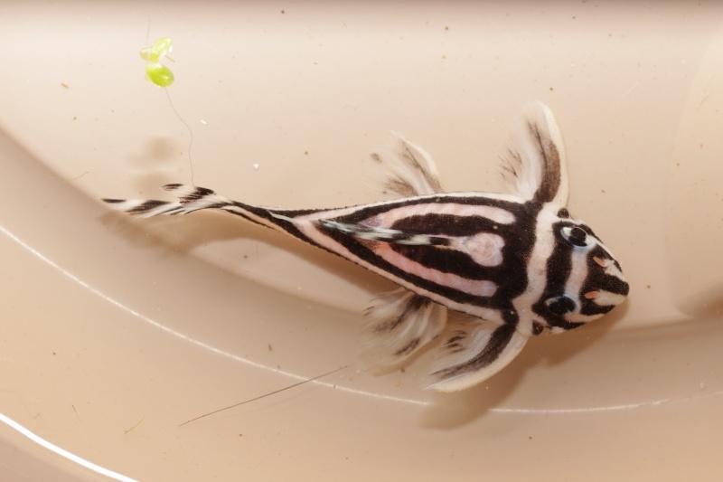 Bac spécifique pour la reproduction d'Hypancistrus zebra - Page 4 Introd10