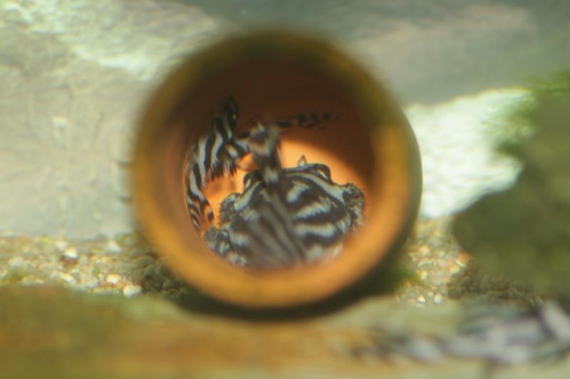 Bac spécifique pour la reproduction d'Hypancistrus zebra - Page 5 Repro_33