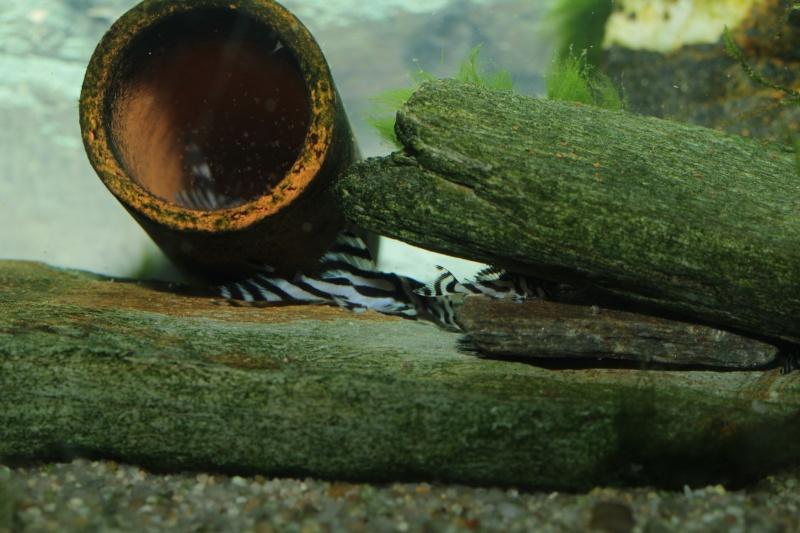 Bac spécifique pour la reproduction d'Hypancistrus zebra - Page 5 Repro_40