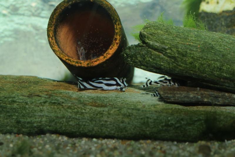Bac spécifique pour la reproduction d'Hypancistrus zebra - Page 5 Repro_41