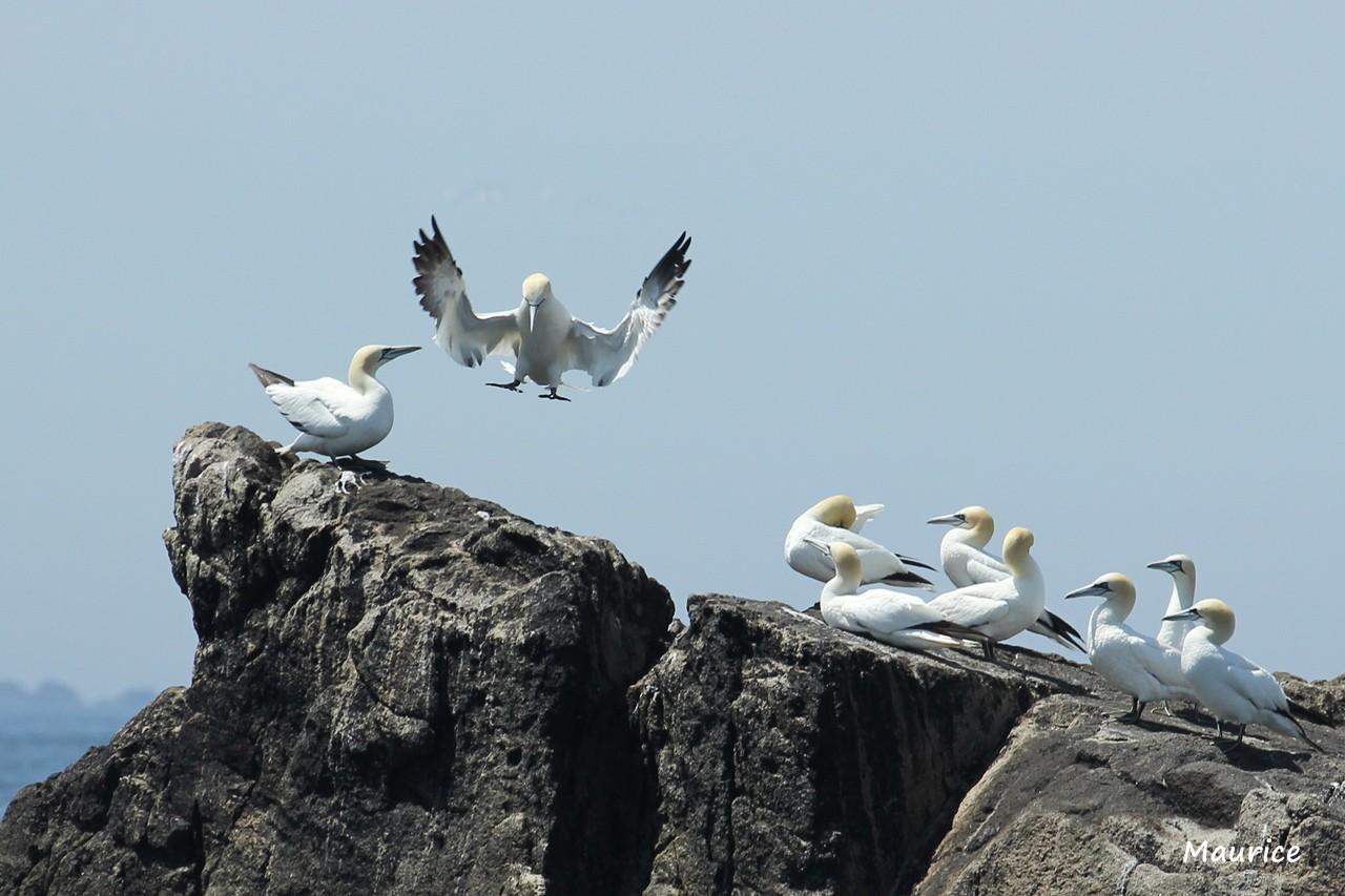 L'Archipel des  sept-iles  27.05.15 et ses oiseaux + 26/27.06.15 + Juin 2016  25061512