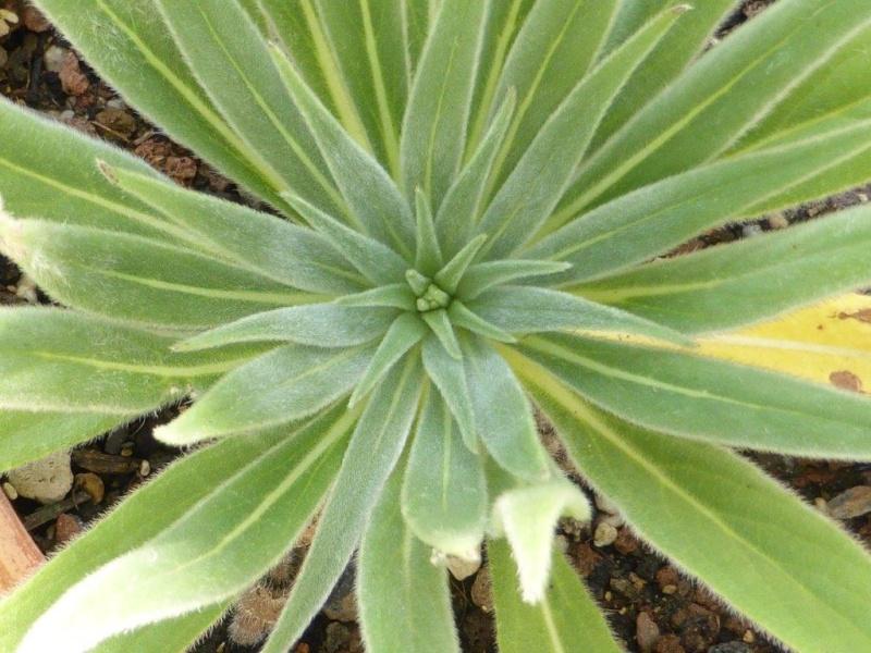 Echium wildpretii - Seite 4 P1090442
