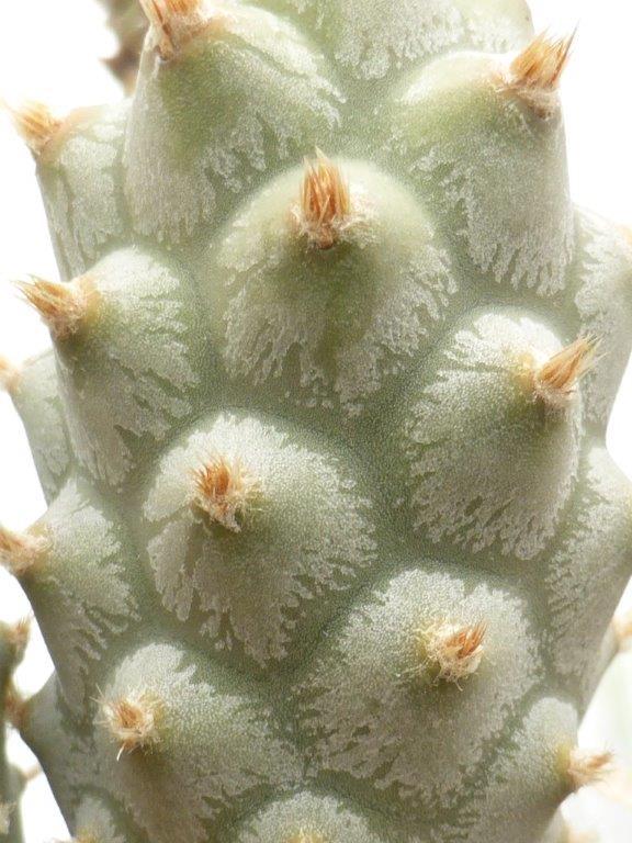 Tephrocactus strobiliformis P1090734