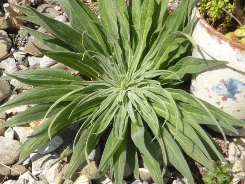 Echium wildpretii - Seite 4 P1100556