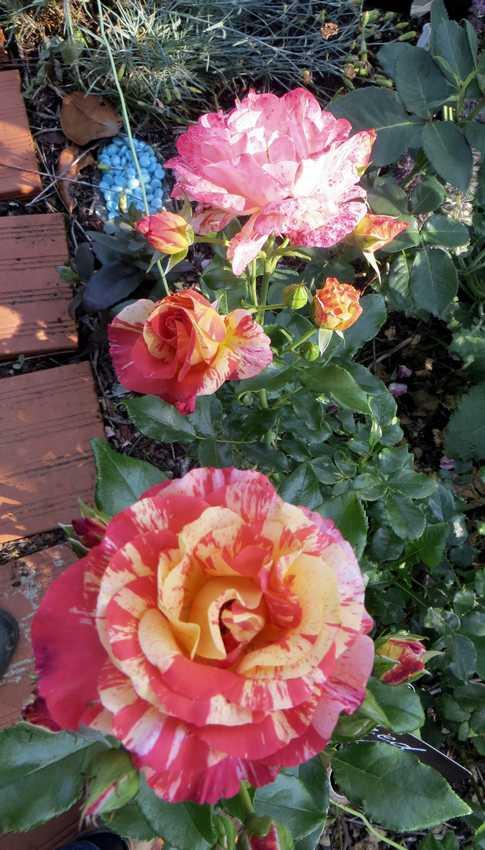 Rosa 'Alfred Sisley' Alfred12