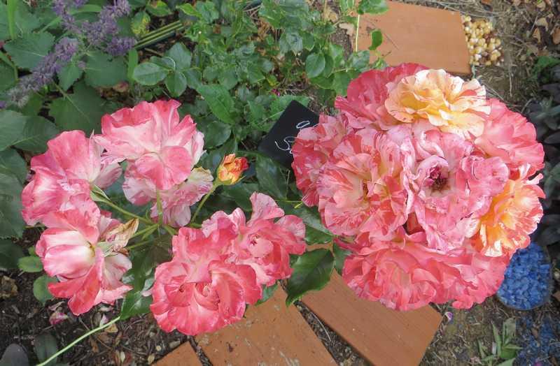 Rosa 'Alfred Sisley' Alfred14