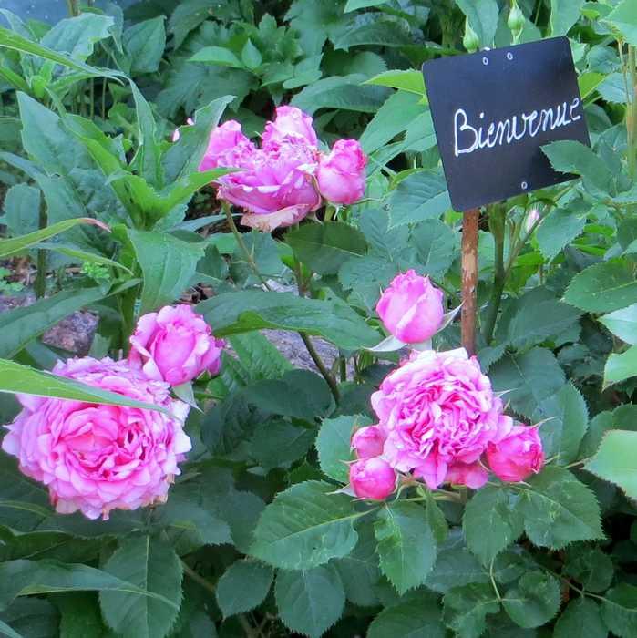 rosa bienvenue - Page 3 Bienve10