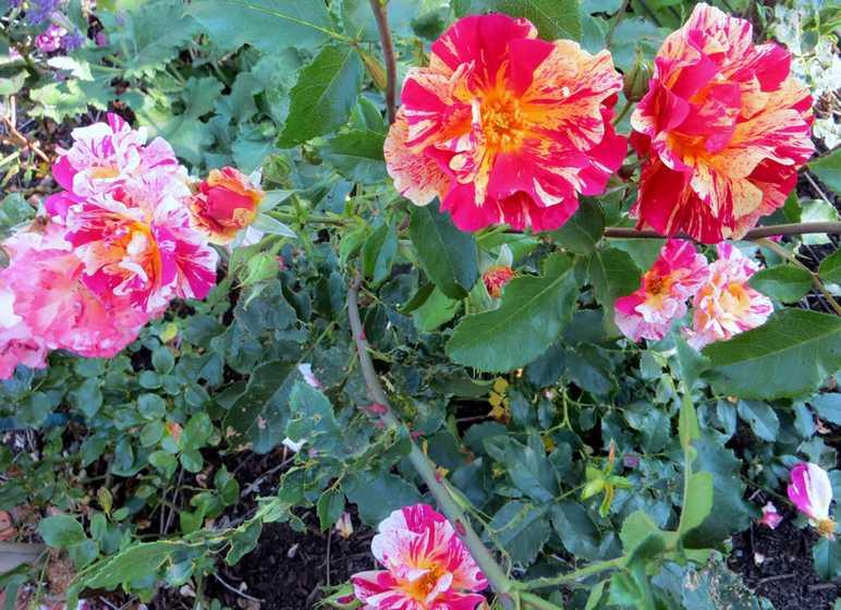 rosier Edgar Degas Edgar_10
