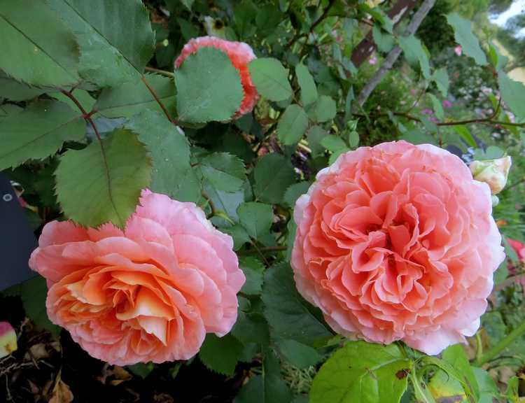 rosier Geneviève Orsi Genevi10