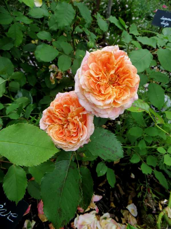 rosier Geneviève Orsi Genevi12