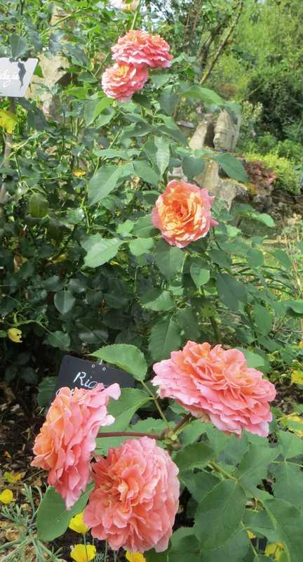 rosier Geneviève Orsi Genevi13