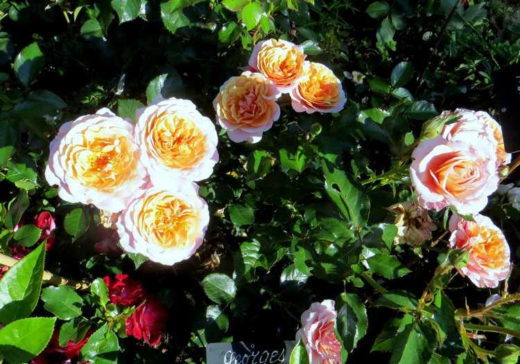 rosa Georges Denjean George10