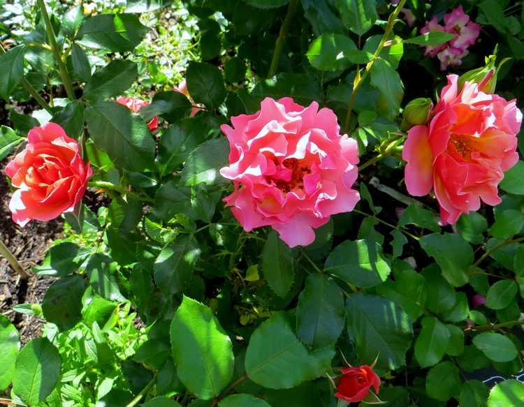 Rosa 'Jean Cocteau' - Page 2 Jean_c10