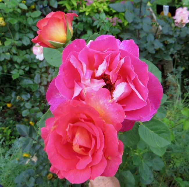 """rosa floribunda """"passionata"""" La_pas10"""