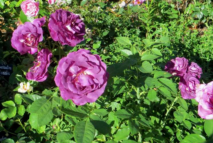 rosa mystérieuse - Page 4 Mystyr10