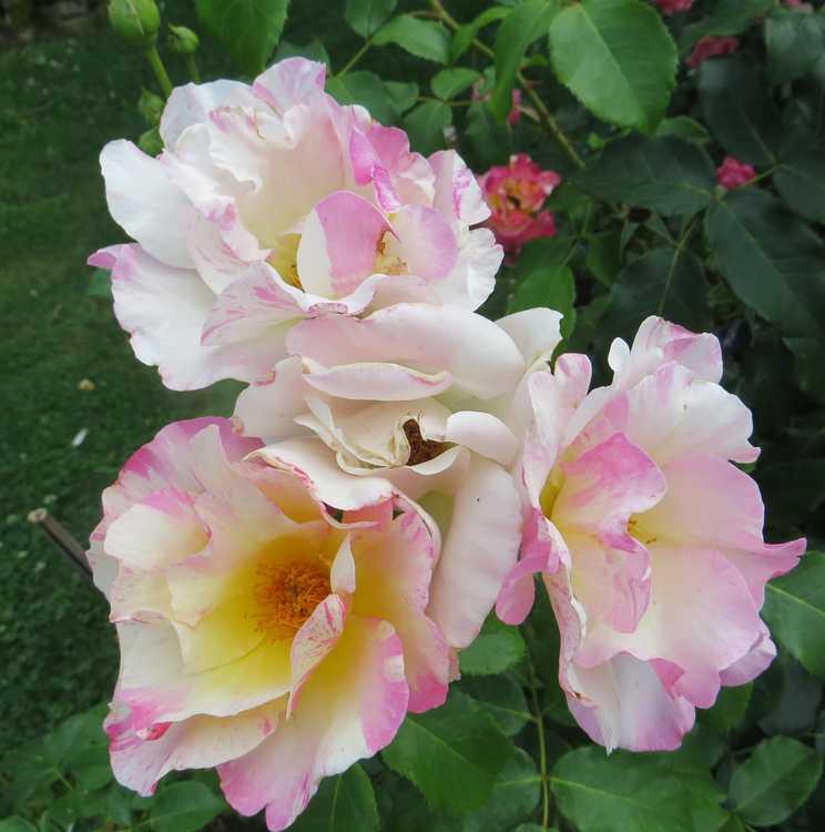 rosa olivier rollinger - Page 3 O_roll10