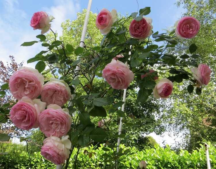 Rosa 'Pierre de Ronsard' !!! - Page 3 P_de_r10