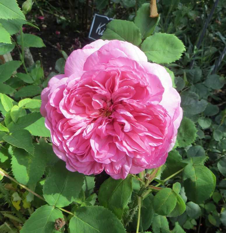 Rosa 'Princesse Alexandra of Kent' !!! Prince12