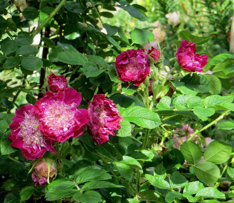 rosier souvenir de trélazé - Page 7 Souven13