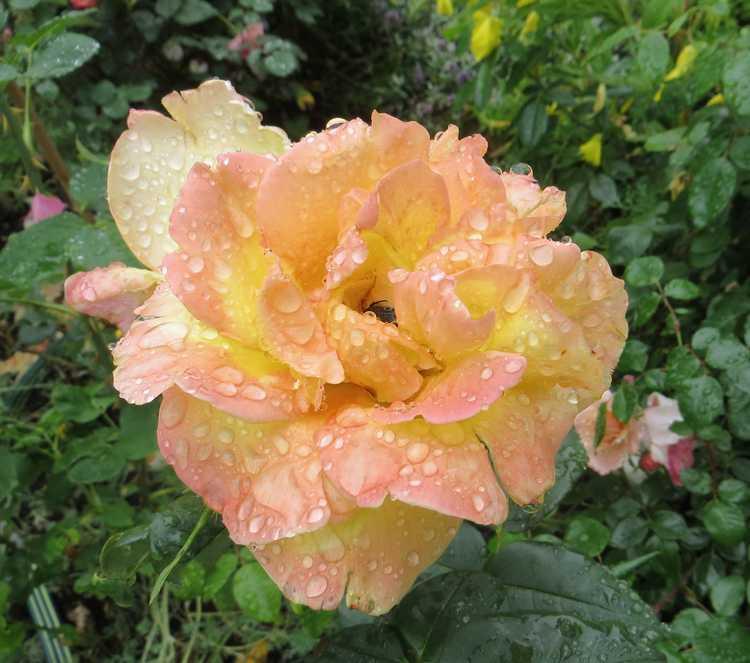 rosier émeraude d'or Ymerau10