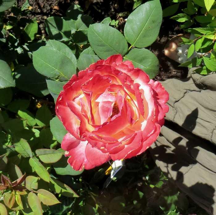 rosier émeraude d'or Ymerau14