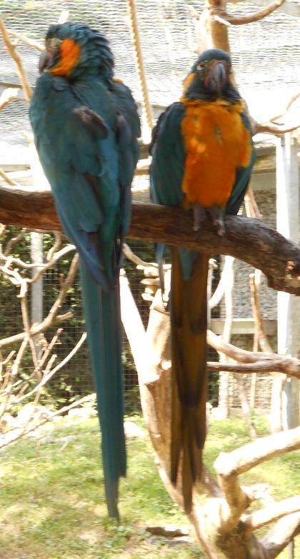 Parc aux oiseaux (Villars les Dombes) Ara_ar11