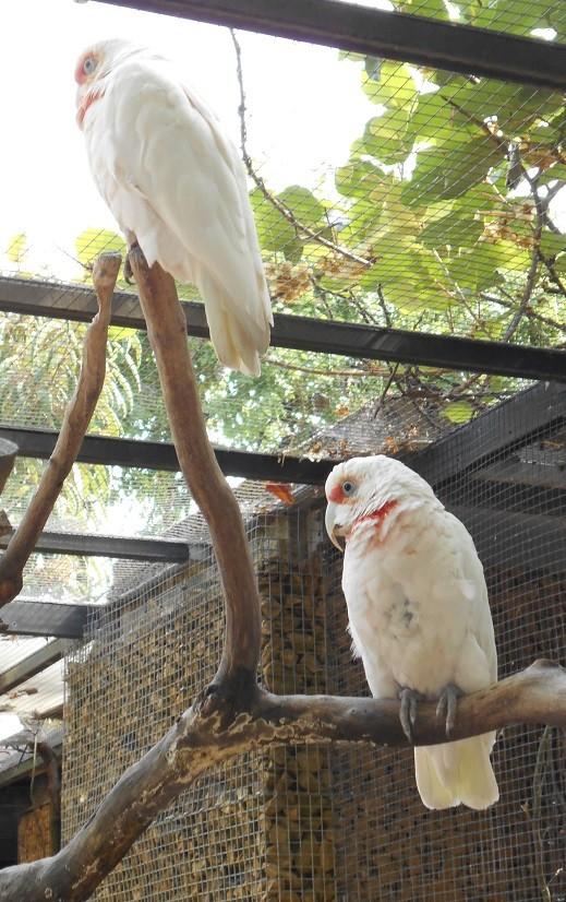 Parc aux oiseaux (Villars les Dombes) Cacato11