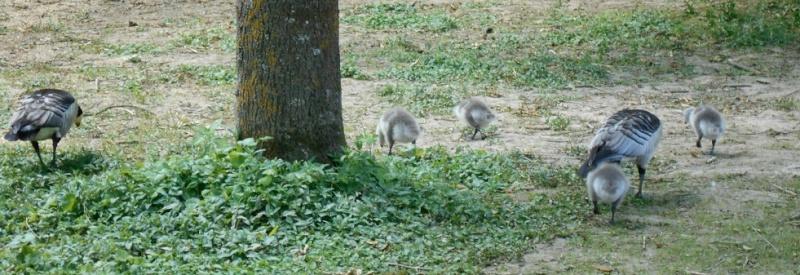 Parc aux oiseaux (Villars les Dombes) Oies11