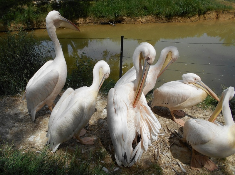 Parc aux oiseaux (Villars les Dombes) Pylica11