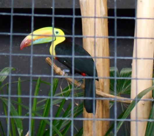 Parc aux oiseaux (Villars les Dombes) Toucan11