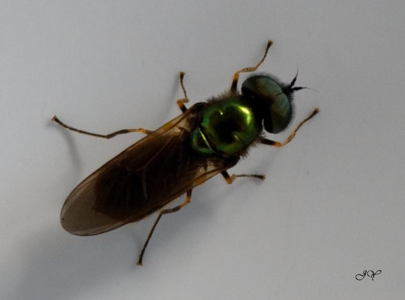[Chloromyia formosa] En voici une qui commence à pointé son nez Chloro11