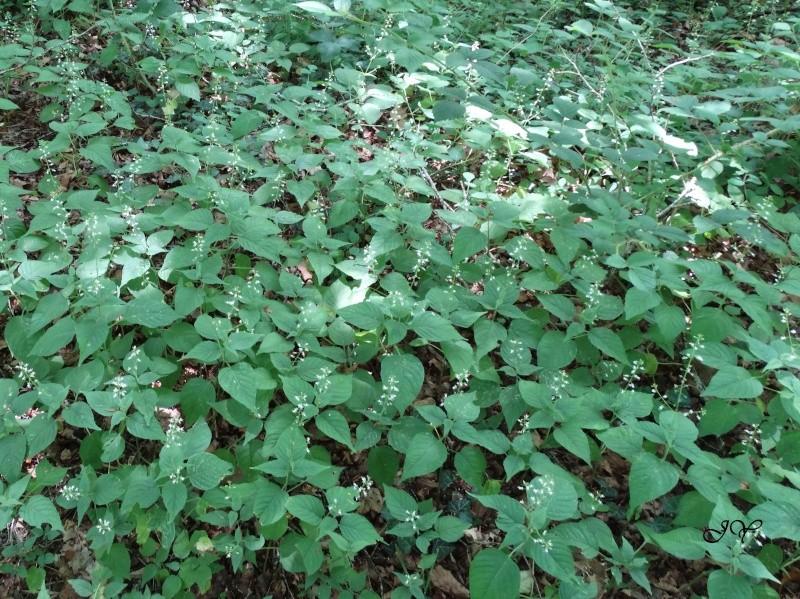 Plante des bois. : Circea luteciana Dsc02110