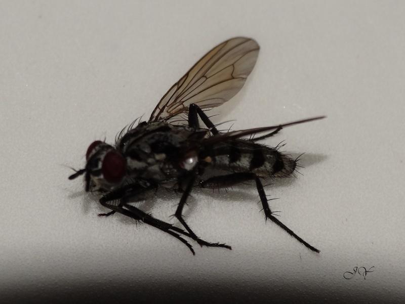 Anthomiidae. Dsc07610