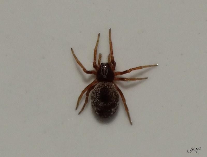 petite araignée. Taille12