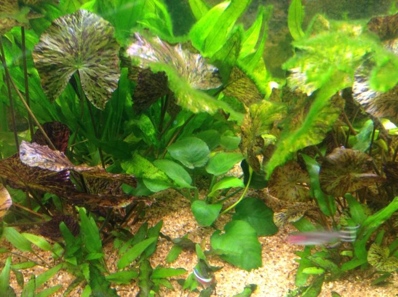algues sur anubias Image16